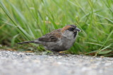 cape verde sparrow / kaapverdische mus, Hansweert