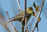 icterine warbler / spotvogel, Domburg