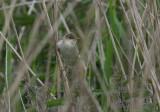 marsh warbler / bosrietzanger, Ritthem