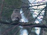 pygmy owl / dwerguil, Lettele