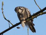 hawk owl / sperweruil, Zwolle
