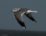 common gull / stormmeeuw, WK