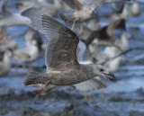 thayers gull / thayers meeuw