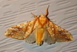 Tussock Moths
