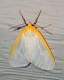 Tiger and Lichen Moths