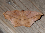 Geometer Moths