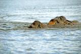 Elephants Swim - Gal Oya Tank - Sri Lanka