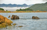Gal Oya Elephants Swim -  Sri Lanka