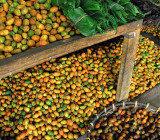 Areca Palm Nuts - Sri Lanka