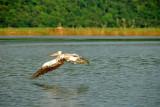 Pelican - Gal Oya National Park - Sri Lanka