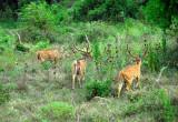 Spotted Deer - Sri Lanka