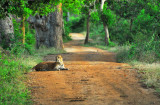 Leopard - Yala National Park - Sri Lanka