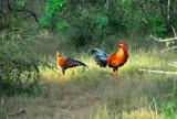 Jungle Fowl - Sri Lanka