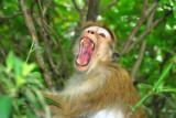 Wild Monkey - Sri Lanka