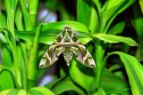 Oleander Hawk Moth - Sri Lanka