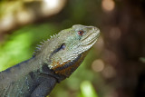 Dragon Lizard - Australia