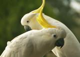 Sulpher-Crested Cockatoo Australia