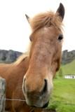 20130616-07-Horse - Iceland