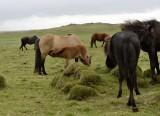20130618-02-Icelandic Horses