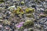20130620-01-Myvatn-Flora.JPG