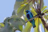 Turquoise Cotinga