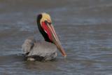 Brown Pelican (californicus)