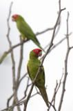 Red-masked Parakeet