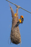 Altamira Oriole at nest