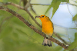 Prothonotary Warbler w/spider