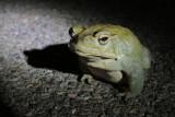 Arizona Toad