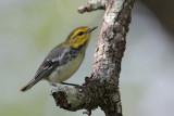 Golden-cheeked Warbler