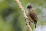Olivaceous Piculet