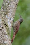 Streak-crowned Woodcreeper