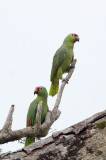 Red-lored Parrot