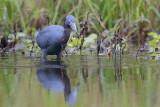 Little Blue Heron w/Crawfish