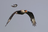 Crested Caracara chased by Eastern Kingbird