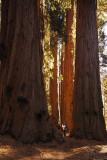 Sequoia-KC_8529.jpg