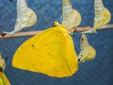 Orange-barred sulphur just emerging