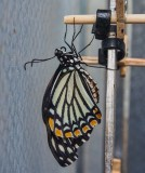 Common mime just emerged