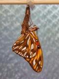 Agraulis vanillae (Gulf Fritillary/Passion Butterfly)