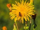 Wasp, Bee, Hornet ???