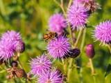 Bee on Milk Thistle