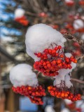 Mountain Ash berries ++