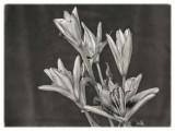 Platinum Lillies (color below)
