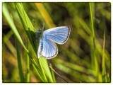 Common Grass Blue