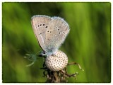 Common Grass Blue on dandelion