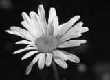 bandwhite flower.jpg