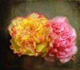 Summer carnations