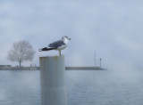 Seagull in the mist...