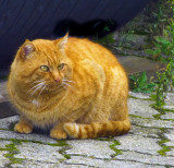 Gently obese ginger cat....